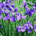 Ирис сибирский (Iris sibirica L) Dark blue japan