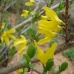 ���������� (Oleaceae) �������� ��������(��������) (Forsythia japonica)