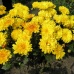 ���������� (Chrysanthemum L.) ������� ������