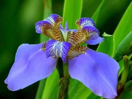 Луковичные цветы фото названия